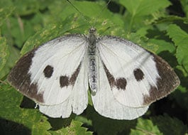 Cabbage Worm moth