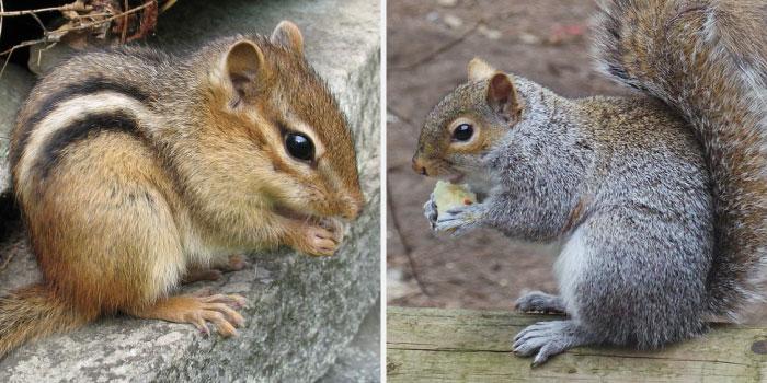 Squirrel and chipmunk
