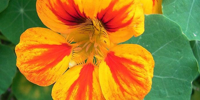 Nasturitium flower