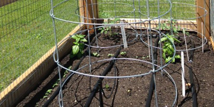 Tomato plants with stakes in garden