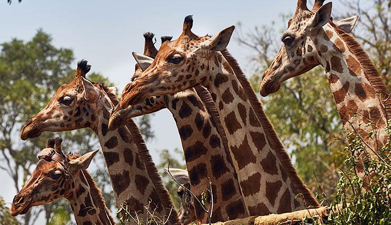Six wild endangered Rothschild's giraffes.