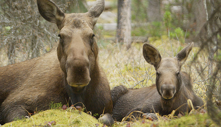 Little moose calf & mom, fall 2014, Jasper National Park, Alberta, Canada
