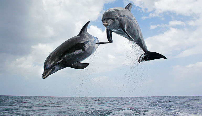 Jumping pair of bottlenose dolphins.