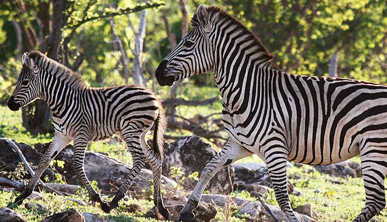 A zebra mare and her foal run through the woods in Chobe National Park, Botswana