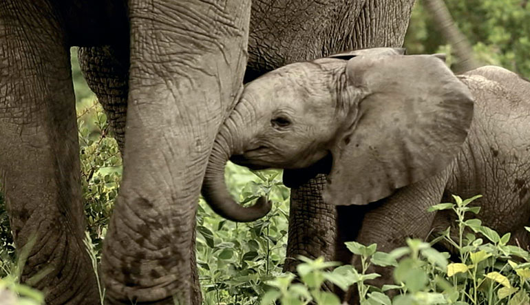 Adult and baby elephant.