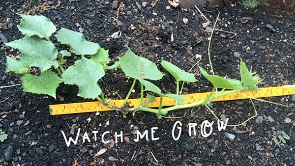 Measuring cucumber progress.