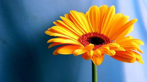 Orange daisy.