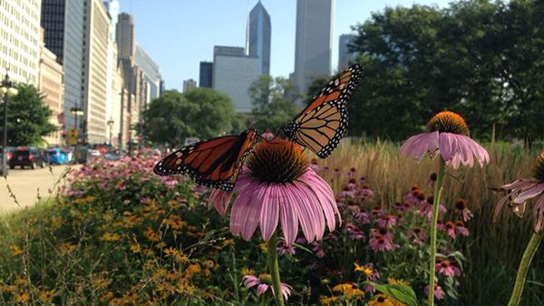 Monarch butterflies in downtown Chicago. Courtesy: The Field Museum