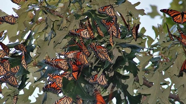 Monarch butterflies roosting in Midewin National Tallgrass Prairie. (Courtesy of Ron Kapala)