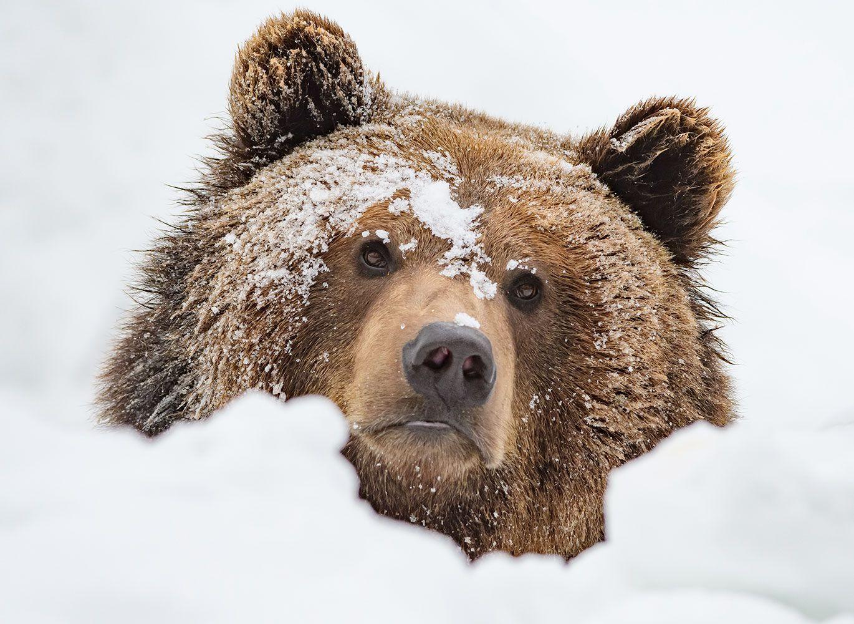 Snowy bear.
